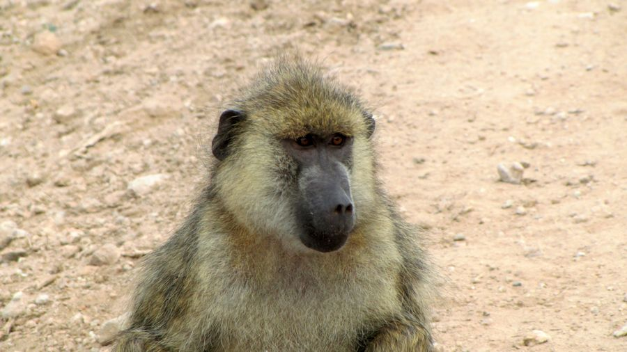 Africa - Olive Baboon