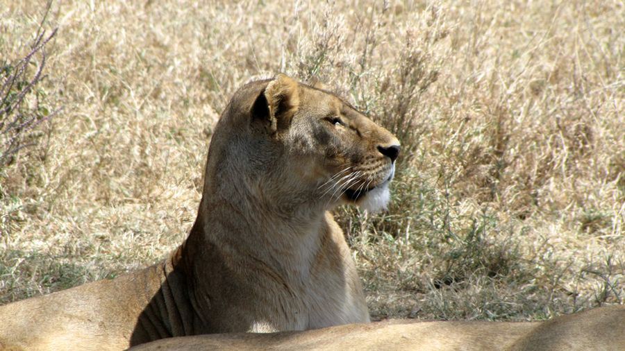 Africa - Lioness watches waterbuck
