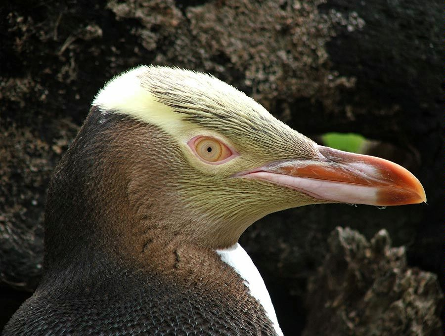 New Zealand penguin colonies and species - Yellow eyed penguin