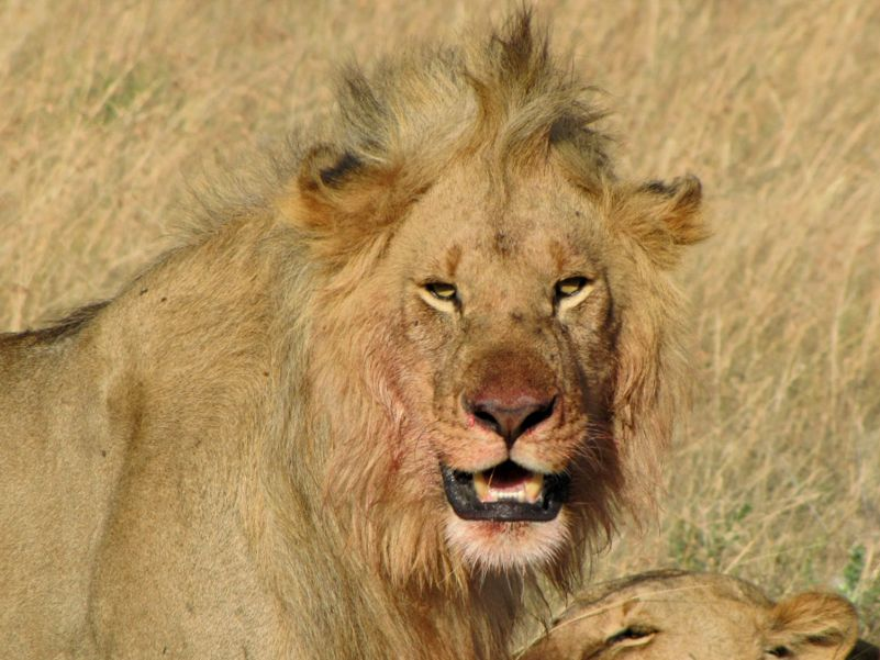 Kenya - Male lion on kill within Masi Mara