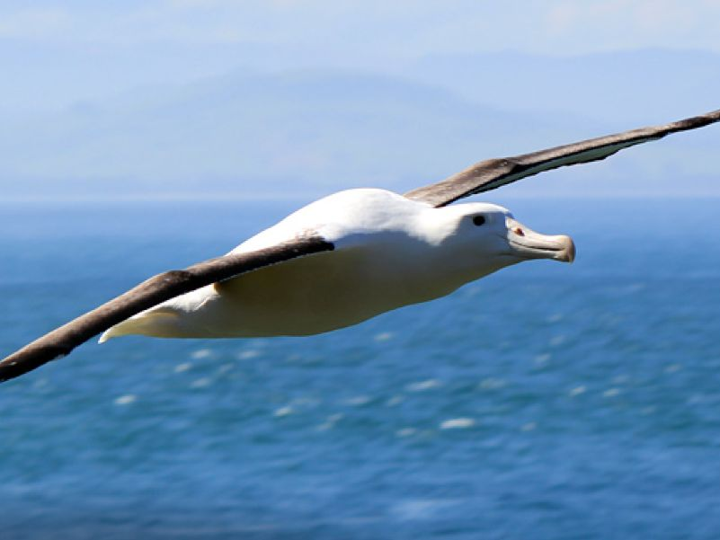Royal Albatross soaring at Taiaroa head - Shaun Templeton