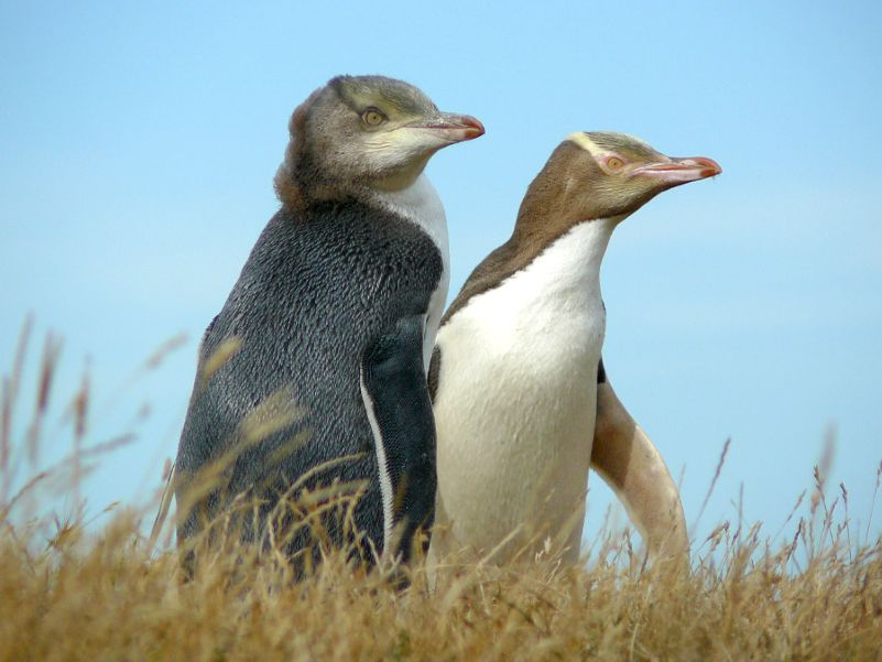 Adult yellow eyed penguin with chick