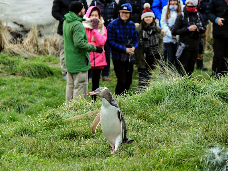 Watching Yellow=eyed penguin
