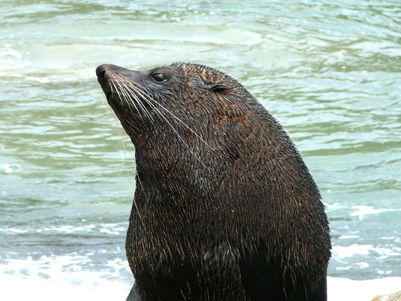NZ Fur seal (male)