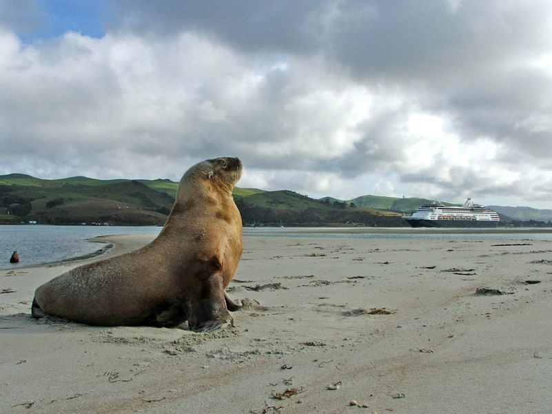 NZ Sealion