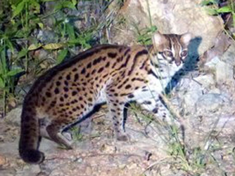 Leopard cat seen on night safari at Tabin -  Photo Eleanor Rogers
