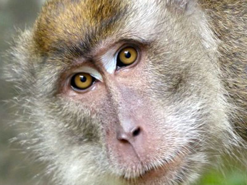 Long tailed Macaque Kinabatangan river -  Photo Eleanor Rogers