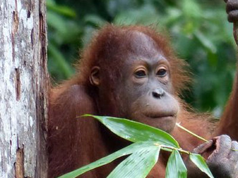 Orangutan at Sepilok at rehabilitation forest feeding platform -  Photo Eleanor Rogers