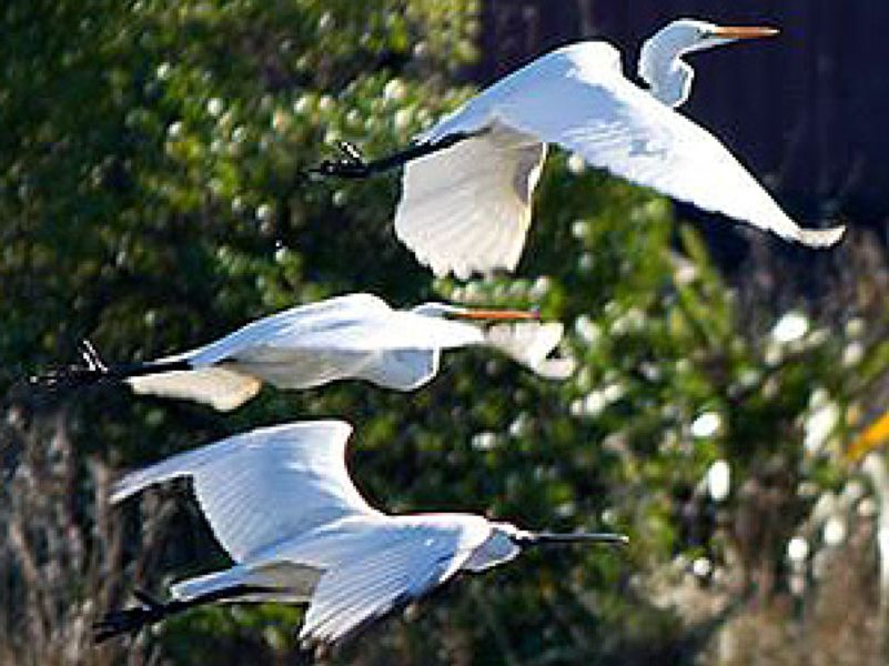 Great white herons - Tomahawk lagoon
